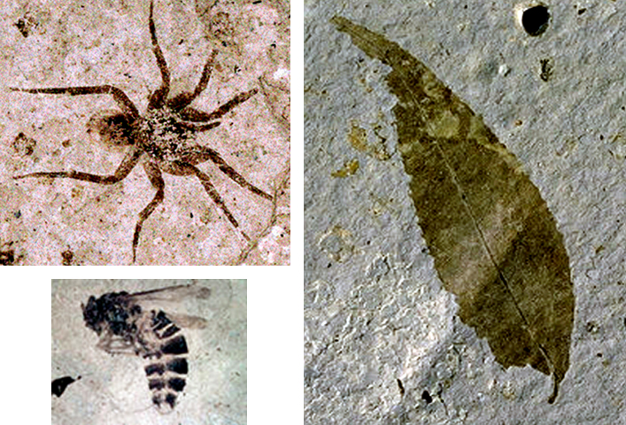 Fossils of a spider, bee, and a leaf, Florissant Fossil Beds.