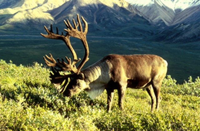A caribou eating grass.