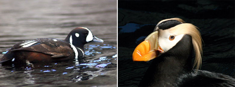 Harlequin duck and a tufted puffin, Seward, Alaska