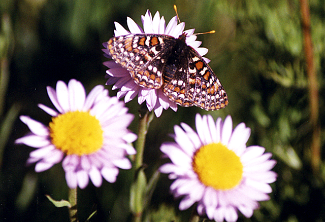 Metalmark butterfly on a flower, Manning Provincial Park, British Columbia, Canada