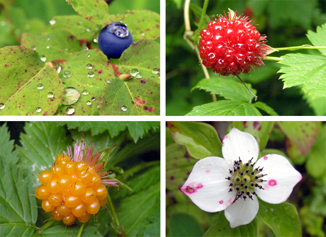 Four pictures.  1.  Blueberry.  2.  Yellow salmonberry. 3. Red salmonberry. 4. Bunchberry flower, Sitka, Alaska