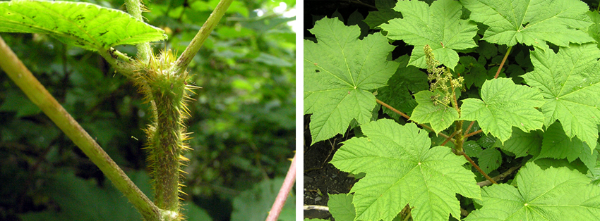 Two Images.  1.  Close up of  a Devil's club stem.  It has many thorns.  2.  Leaves of the Devil's Club plant.  Sitka, Alaska