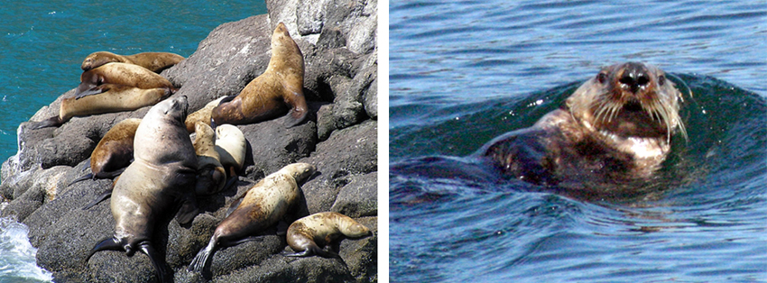 Two pictures.  1.  Steller sea lions on a rock.  2.  Sea otter.  Seldovia, Alaska