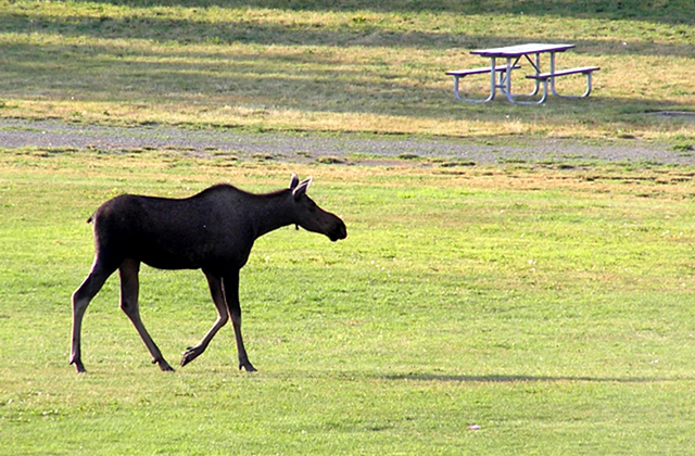 Moose walking across a park in the town of Anchorage Alaska.