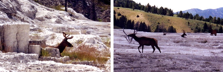 Two pictures.  1.  Elk resting on the upper surface of Mammoth Hot Springs, Yellowstone NP.  2.  Elk walking across the hot springs.