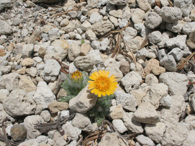 yellow flower growing out of rocks
