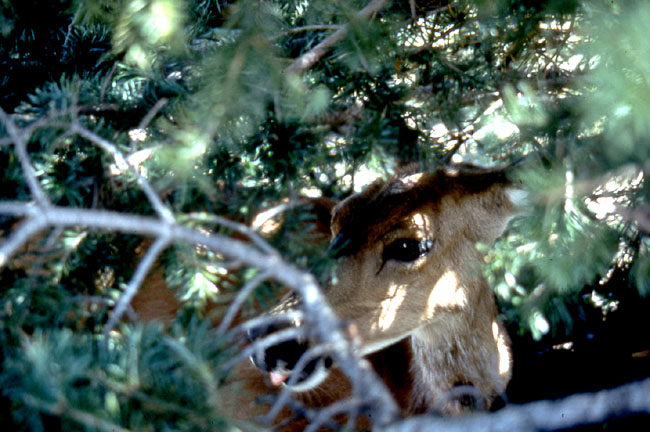Mule deer in the forest