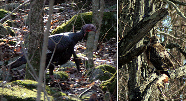 Wild turkey on the forest floor and a red-tailed hawk in the trees.