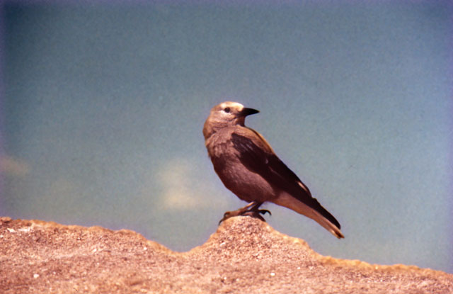 A Clark's Nutcracker (bird) sitting on top of a rock.