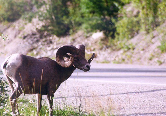Bighorn sheep standing by the side of the road.