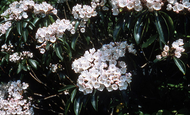 Mountain laurel, Great Smoky Mountains National Park.