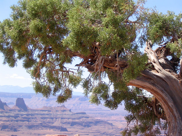 Canyonlands, near Moab, Utah, with old bending tree in foreground
