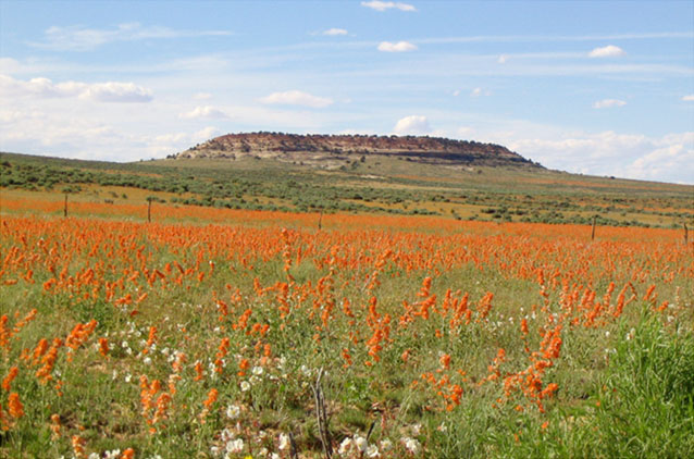 A field of orange mallows at the entrance to Needles area in Canyonlands