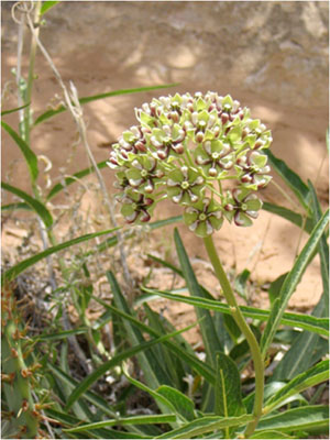 Close-up of a desert milkweed in Canyonlands National Park