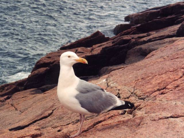 Close-up of Herring gull standing on granite coast of Acadia