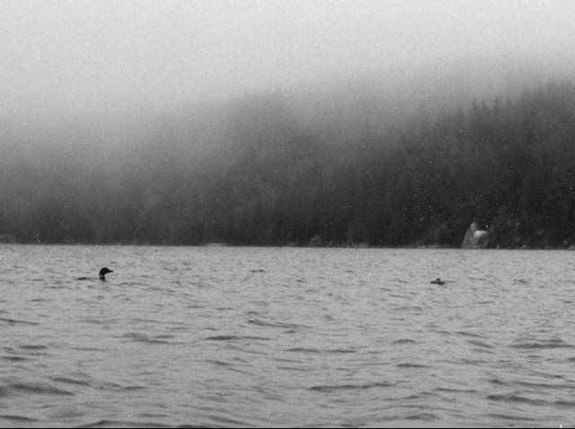 Two loons in the rain on Seal Cove Pond.  Black and white image
