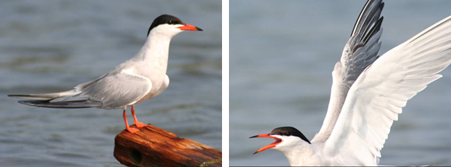 On the left, a tern perched on a piece of wood. On the right, a tern in flight.
