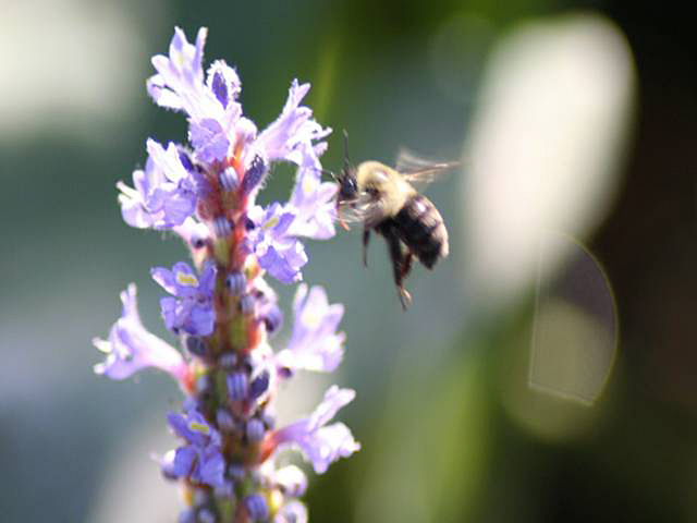 Close-up of a bumblebee on a pickerelweed.