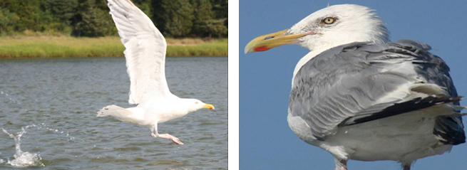 On the left, a herring gull landing in the water. On the right, a close-up herring gull perched