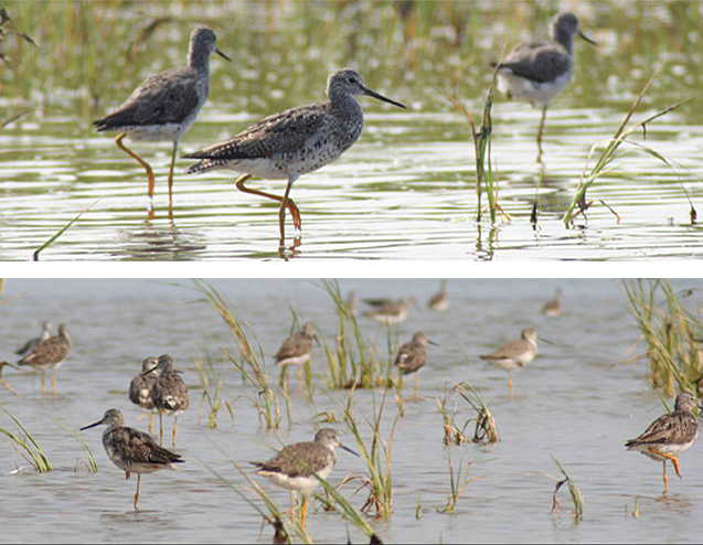 On top, a close-up of three yellowlegs in Nauset Marsh. Below, twelve or more yellowlegs in the marsh