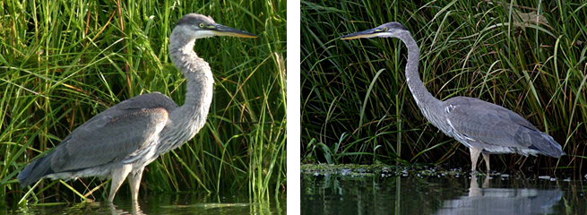 Side-by-side close-up images of a great blue heron standing in the marsh in front of tall water grass