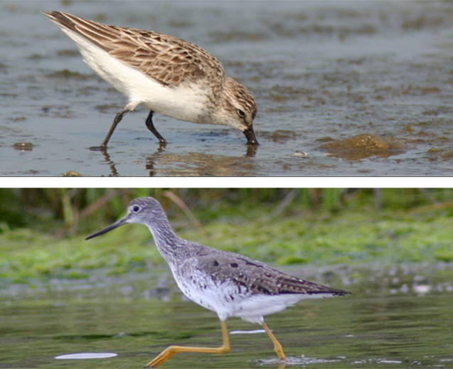 On top, a close-up of a sandpiper on the beach  with his beak in the sand. Below,  a close-up of a yellowleg standing in the water