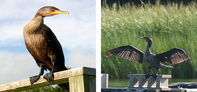 On the left, a close-up of a cormorant perched.  On the right, a close-up of a cormorant on a cinder block with his wings spread