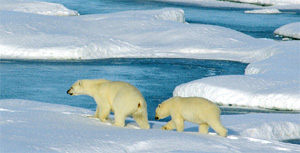 A mother polar bear and her cub walking on the melting ice.