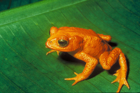 The Golden Toad (now extinct).