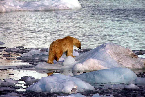 Image of Polar Bears on Arctic Sea Ice Hunting Grounds.